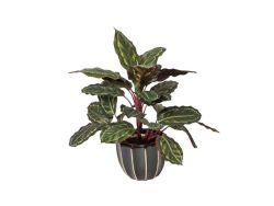 Kunstplanten Galatea Cebra 50cm
