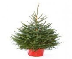 Picea abies 175cm